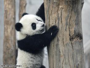 Scientists probe panda genome – SciTechBlog - CNN.com Blogs