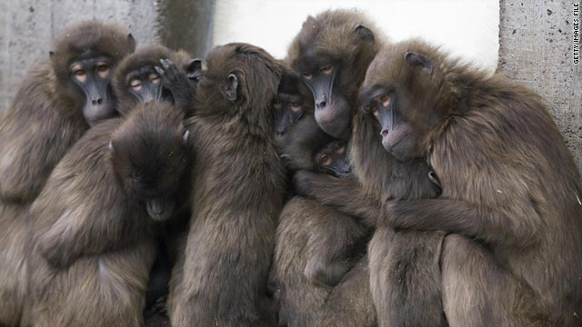 Researchers are finding that monkey group behavior and Wall Street brokers have a lot in common.