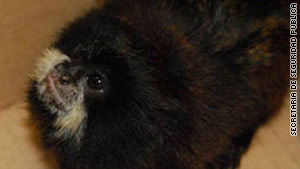 The man said he had bought the titi monkeys as pets.
