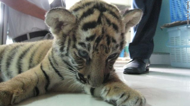 This two-month old tiger cub was found stuffed in a woman's luggage at Bangkok's international airport.