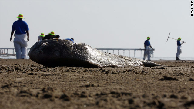 Workers contracted by BP clean oil from the beach in Louisiana.