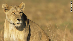 """""""The lioness's grunt was so fierce and deafening, we were shaking from the power,"""" said a survivor."""
