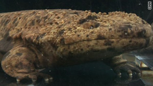 Japanese giant salamanders can stave off the ravages of a fungus that are lethal to other types of salamanders.