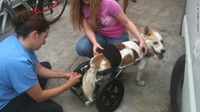 Volunteers hook up Napoleon's cart so the paralyzed Corgi mix can go for a walk.