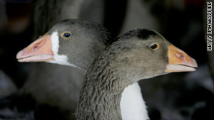 Geeze or ducks are force fed grain several times a day to enlarge their livers.