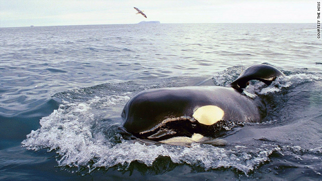 "Keiko, the star of ""Free Willy,"" swimming in the open seas after his release in 2002."