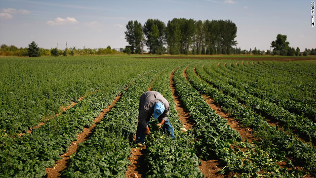 A migrant farm worker from Mexico picks spinach on September 16, 2009 near Wellington, Colorado.