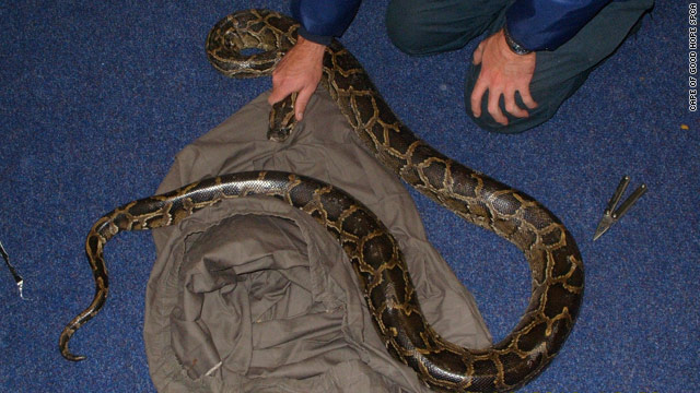 A photo released by the Cape of Good Hope SPCA of the Burmese python allegedly used to influence the World Cup.