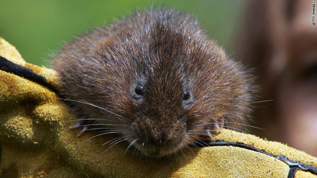 Vole populations in North America fell permanently in the last period of global warming, 12,000 years ago.