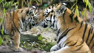 There are more tigers in zoos than in the wild, the World Wildlife Fund says.