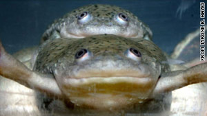 One of these copulating frogs, both genetically male, has been feminized by exposure to atrazine, says a new study.