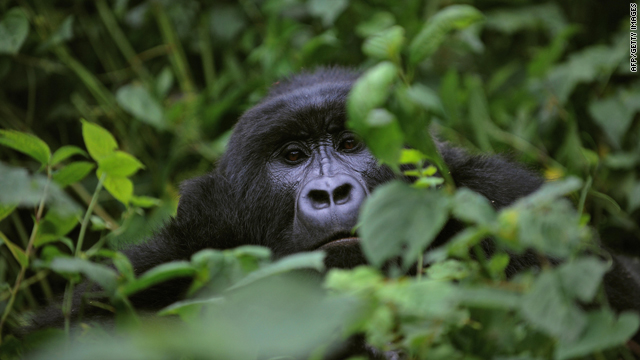 A gorilla looks on while relaxing in a clearing on the slopes of