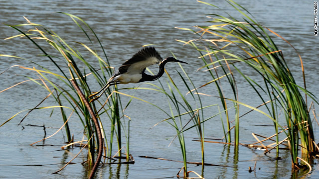 A Louisiana heron takes flight in one of the state's sensitive marshes near the town of Venice.