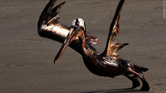 A brown pelican coated in heavy oil tries to take flight on East Grand Terre Island, Louisiana.