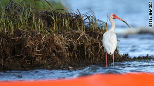 An ibis stands behind a protective boom near Grand Isle, Louisiana, last month.