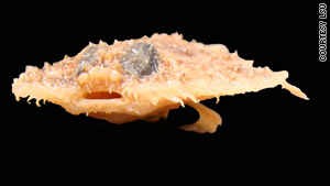 The Louisiana pancake batfish lives 1,500 feet below the surface and plays an important role in the food chain.