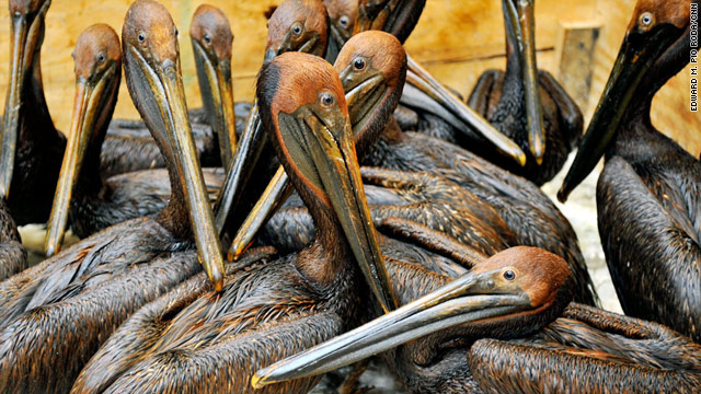 Oiled pelicans await treatment at the Fort Jackson Oiled Wildlife Rehabilitation Center in Buras, Louisiana.