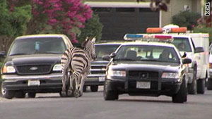 Police pursue an escaped zebra  on the streets of Sacramento, California, on Saturday.