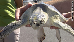 Kemp's ridley turtles were among those released into the wild off Florida in August.
