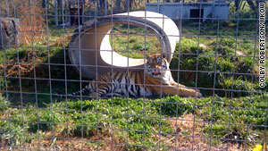 Khan, a 7-year-old Siberian tiger, pulled a volunteer into his cage Friday.