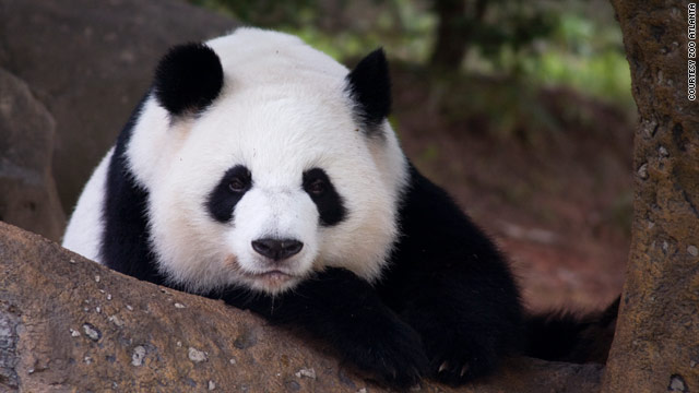 Giant panda Lun Lun gave birth to a cub early Wednesday, Zoo Atlanta announced.