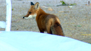 Sly people are often said to be found on Capitol Hill, but a fox is an unusual sight.
