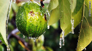 An avocado in Florida has been sprayed with water to help keep the fruit from being damaged by cold.