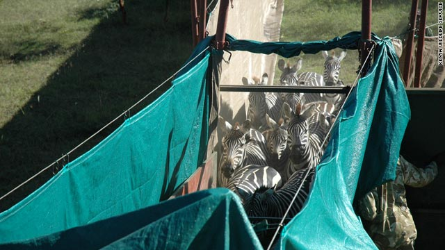 Zebras are herded up for transport to Amboseli where they will be used as prey for starving lions.