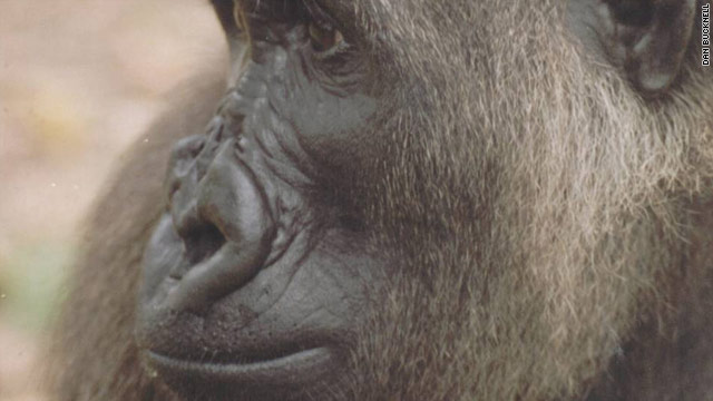 The Cross River gorilla is the world's most endangered gorilla . It's estimated that there are only 300 left in Nigeria and Cameroon.