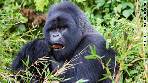 Mountain Gorilla Reproduction | RM.