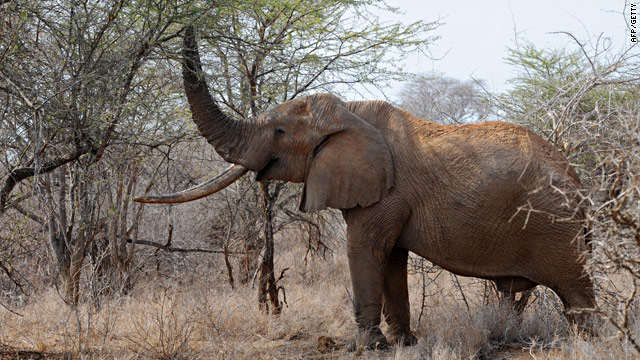 Elephants such as this one in the Tsavo West National Park in southern Kenya are threatened by poachers.