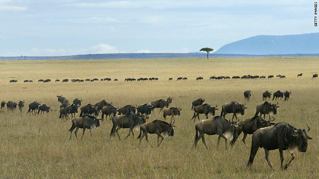 Conservationists say a proposed new road through the Serengeti National Park will disrupt migratory patterns of wildebeests.