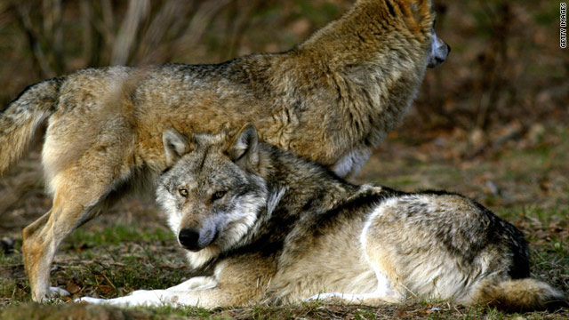 Managed wolf populations could help fight biodiversity loss in U.S. national parks.