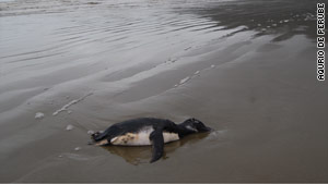 Unusually cold seas may have displaced the penguins' food sources, scientists say.