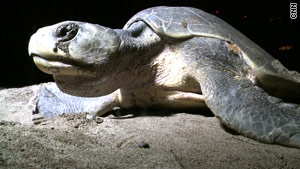There are seven sea turtle species worldwide, and six of them lay eggs on Mexican shorelines.