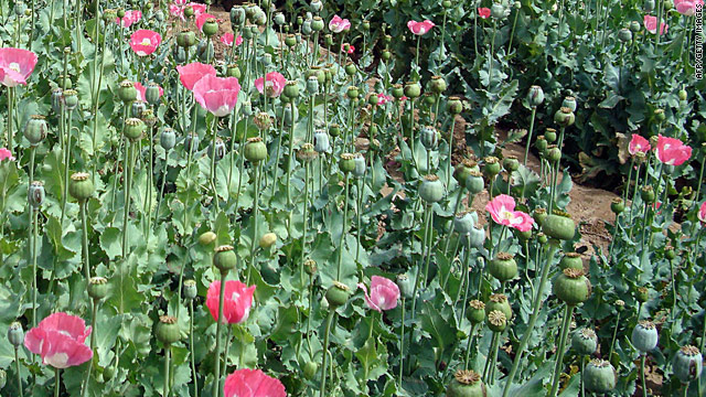 Afghan opium kills 100,000 people a year worldwide -- more than any other drug, a recent U.N. report said.