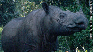 Ratu, a Sumatran rhino, is expected to give birth in May 2011.
