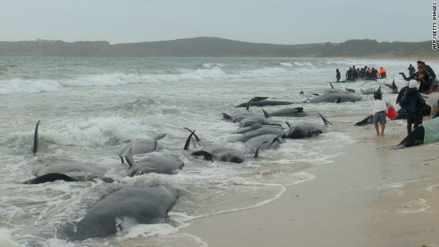 Rescuers attempt to refloat 15 stranded pilot whales at Karikari beach in the far north of New Zealand.