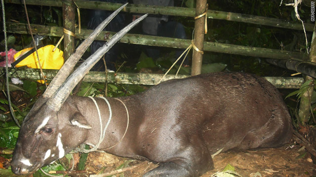 The saola is critically endangered: This was the first sighting since remotely triggered cameras took images of one in 1999.