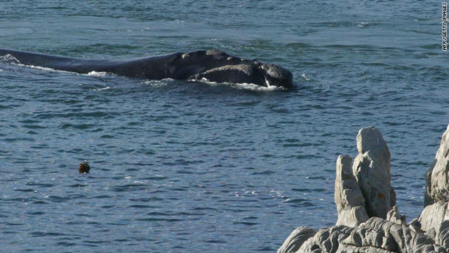 A southern right whale lolls close to the shore near Cape Town in a 2004 file photo.