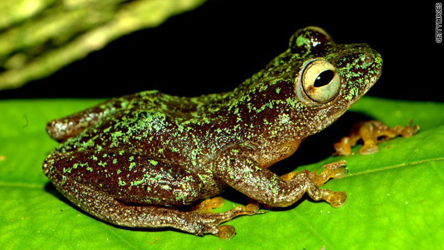 The Omaniundu Reed Frog was previously thought to be extinct, only to be found alive in 2010.