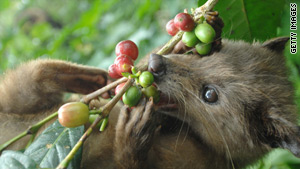 A palm civet eating coffee beans: the first stage in making Kopi Luwak.