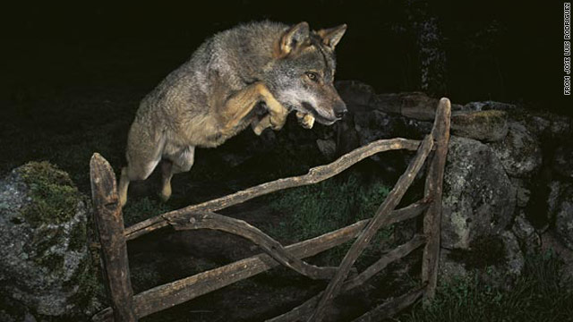 Jose Luis Rodriguez's image of a wolf won him the title of 2009 Veolia Environnement Wildlife Photographer of the Year.