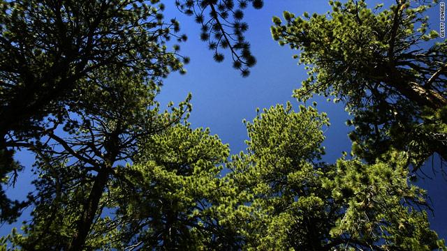 t1larg.trees.jpg