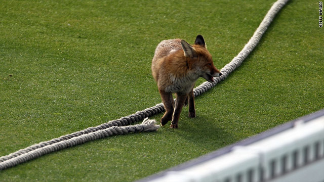 Foxes, like this one pictured at the Oval cricket ground, are a common sight in London.