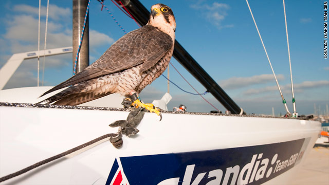 Felix, a peregrine falcon, keeps seagulls from bothering the British Olympic sailing team.