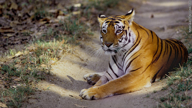 Wild tiger populations have dropped from 100,000 a century ago to 3,200 today.