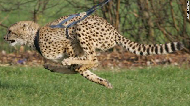 Boumani being trained to chase 'prey' -- he can reach 60mph (96.5 km/h) on a harness. In the wild they can hit 70mph.