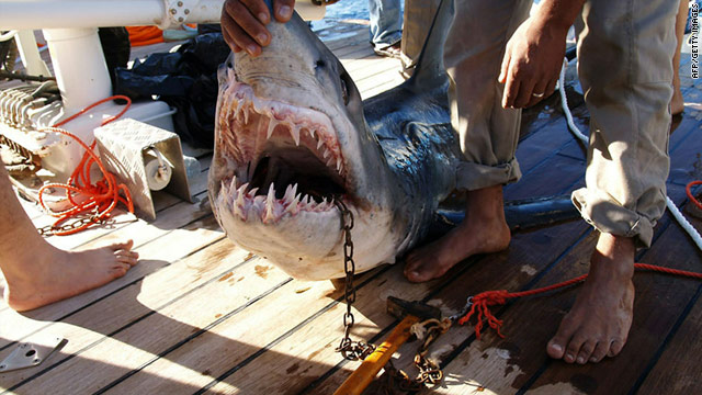 A picture released by the Egyptian ministry of environment on Thursday shows a shark believed to be behind an attack on tourists in the Red Sea resort of Sharm el-Sheikh last week. Another shark is being hunted in a Sunday attack.