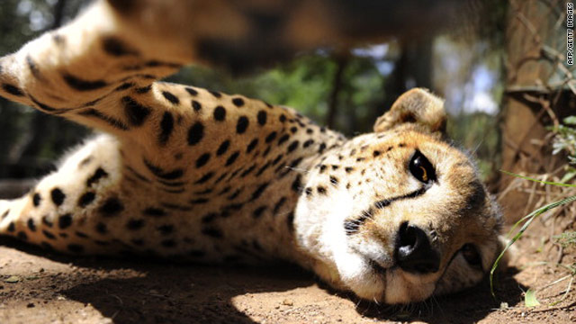 Cheetahs were traditionally trained as hunting animals in some Middle Eastern countries.